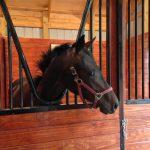 Lyra enjoys her new spacious stall at Whistling Ridge Farm!